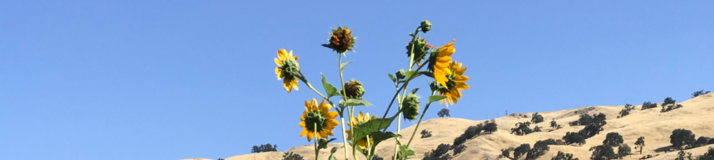sunflowers with hills in background